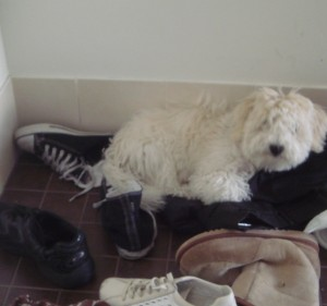 White fluffy Lucy, our white bishon frise, when younger and hoarding a collection of odd shoes.